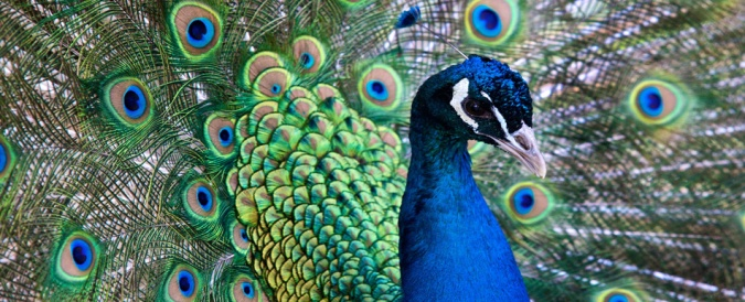 1. peacock.jpg