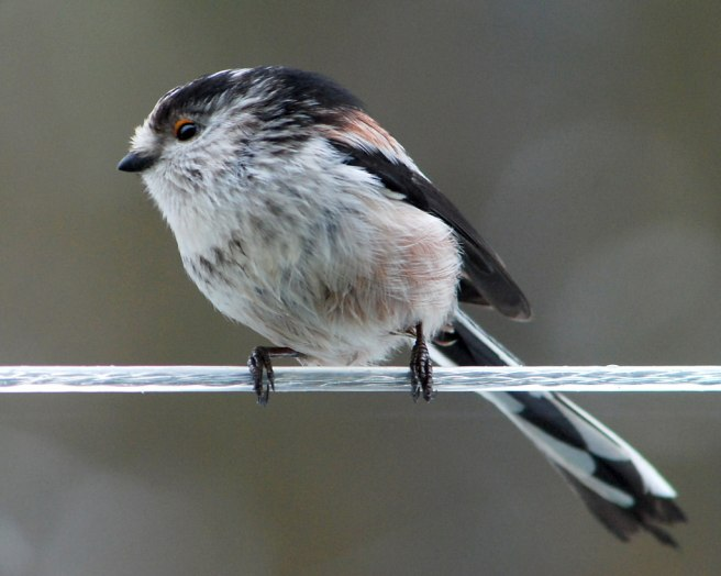 Long_tailed_Tit_on_a_washing_line_-_geograph.org.uk_-_1714032.jpg