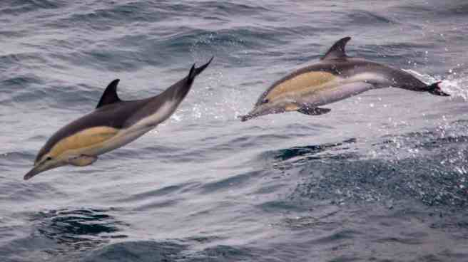 Common-Dolphins.jpg